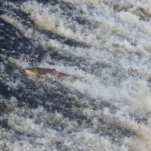 running-slaney-salmon