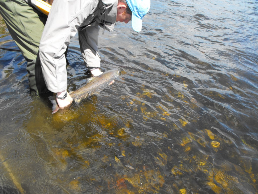 Another opening day fish goes back slaney river trust for What goes good with fish